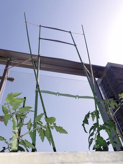 ミニトマト苗の定植