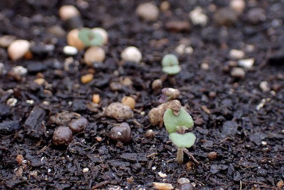 赤紫蘇とミニトマトの定植