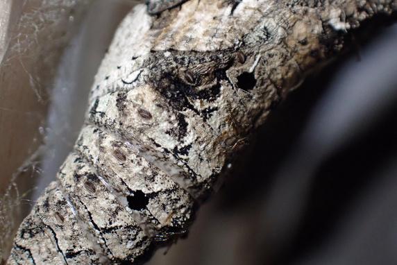 ナミアゲハのサナギに羽化の兆し
