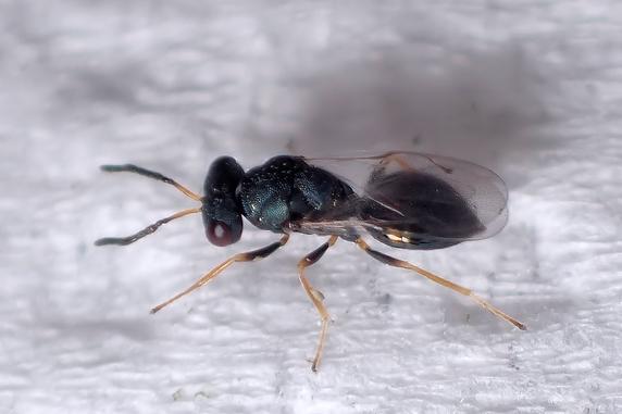 寄生バチ「アオムシコバチ」を確認