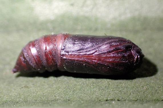蛾のサナギが羽化