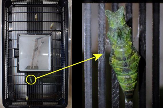 またナミアゲハが2匹同時に羽化
