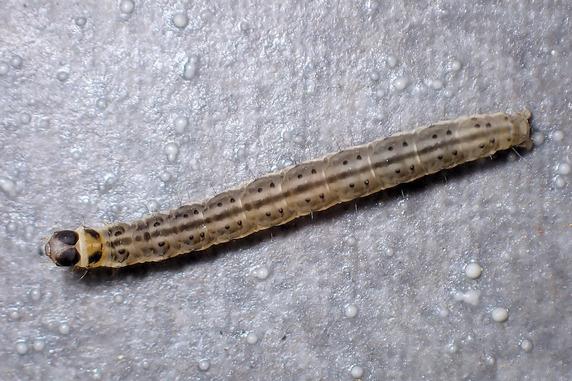 ハマキガの幼虫か?