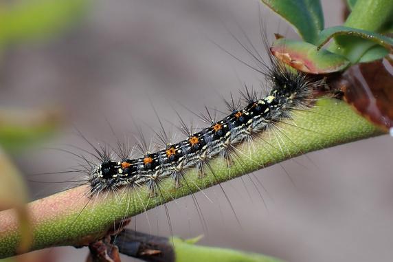 キンロバイにドクガの幼虫襲来