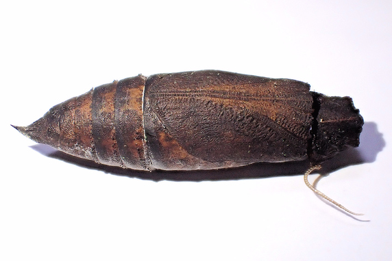 保護中の蛾のサナギから寄生蜂が羽化