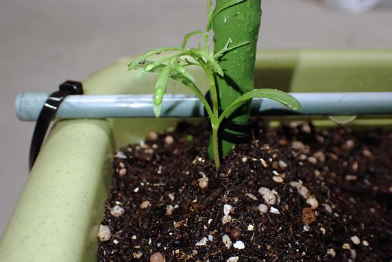 コスモス苗の定植