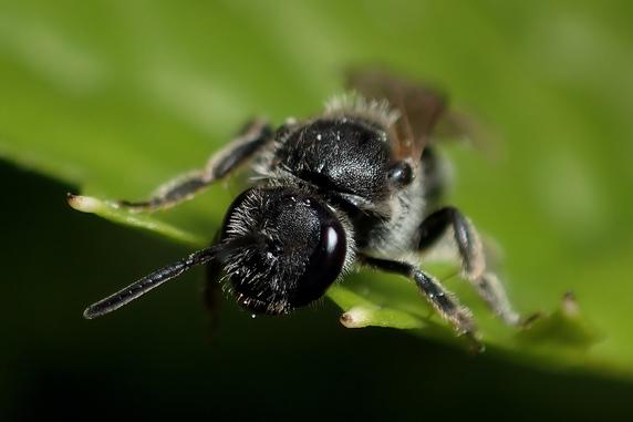虫の日に宿泊許可をとるハナバチ