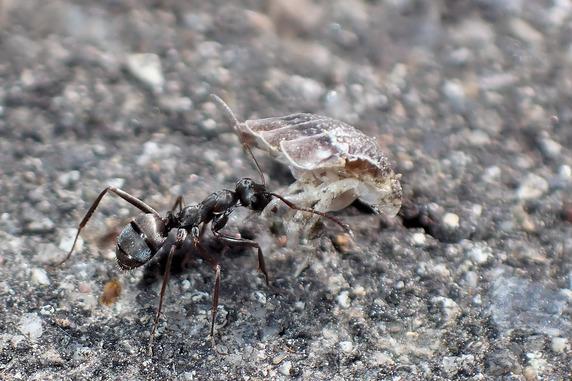 食べ物を巣穴に運ぶクロヤマアリ