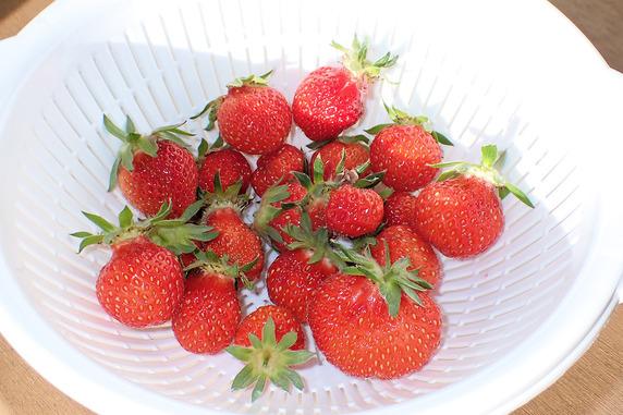 四季なりイチゴ今季初収穫