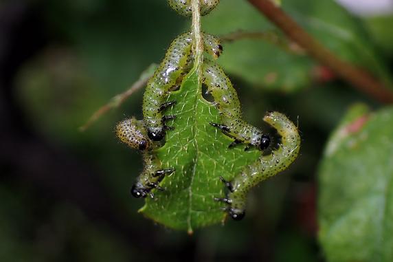 今年もルリチュウレンジの幼虫
