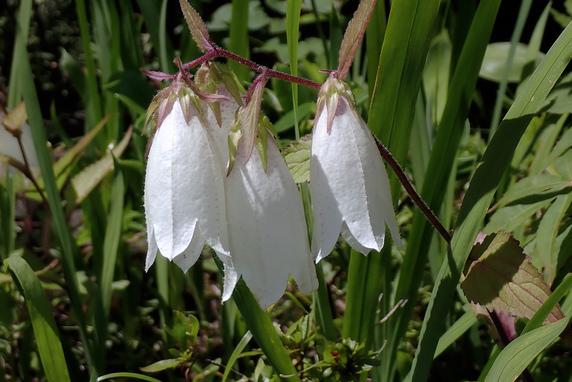 庭の花「ホタルブクロ」