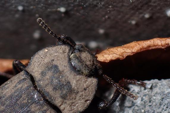 枯れ葉を食べるスナゴミムシダマシ