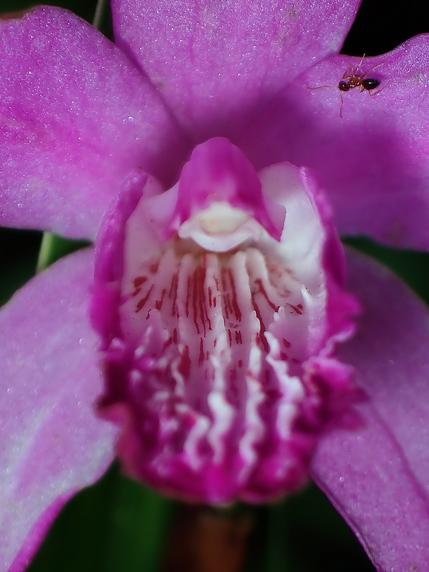 アリとシラン(紫蘭)