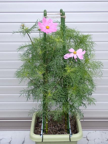 矮性コスモス開花