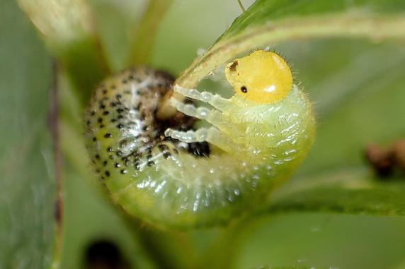 ルリチュウレンジの幼虫の脱皮