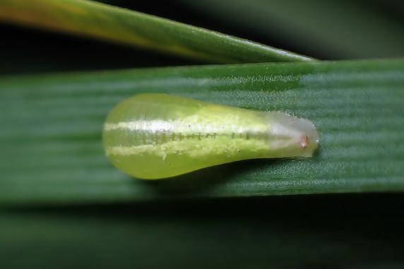 ヒラタアブの囲蛹(いよう)