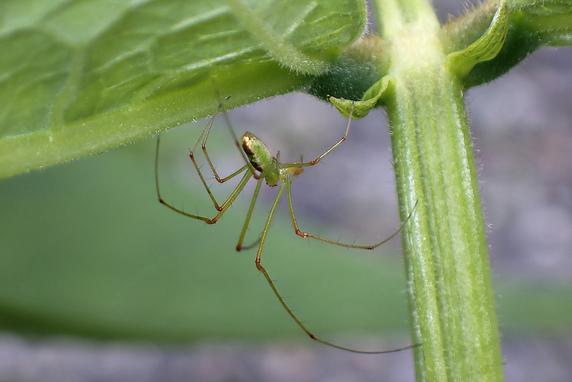 ウロコアシナガグモのオス