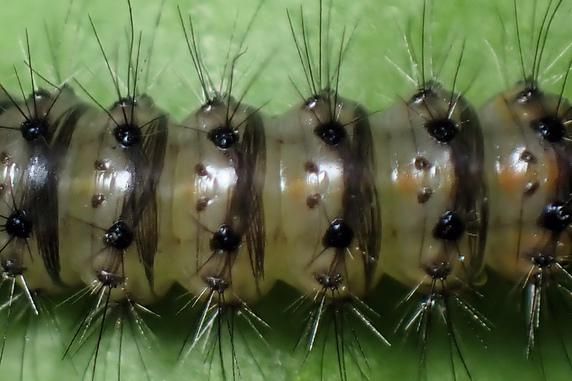 体皮の内側で毛を伸ばす幼虫