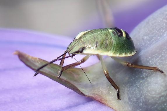 桔梗の汁を吸うエゾアオカメムシの幼虫