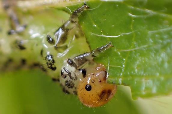 見納めのルリチュウレンジの幼虫