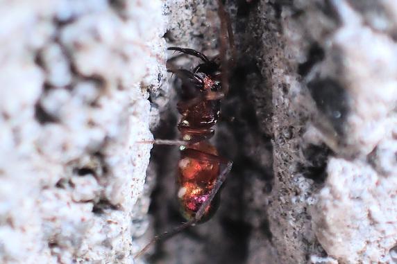 虹色に光るヒゲナガツヤグモ