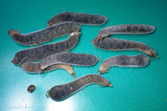 マルバアサガオの種の採取開始