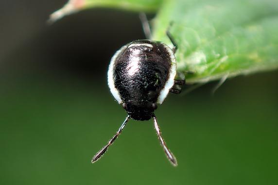 孵化したエゾアオカメムシの幼虫