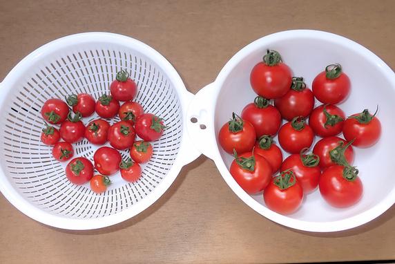 あまぷる&フルティカの収穫