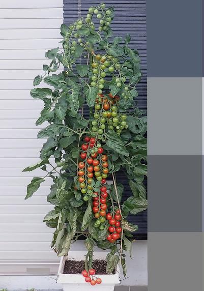ミニトマト「千果」の収穫