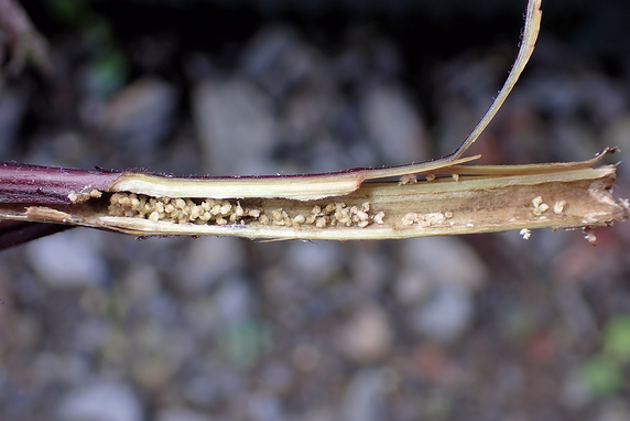 赤紫蘇にベニフキノメイガの幼虫襲来