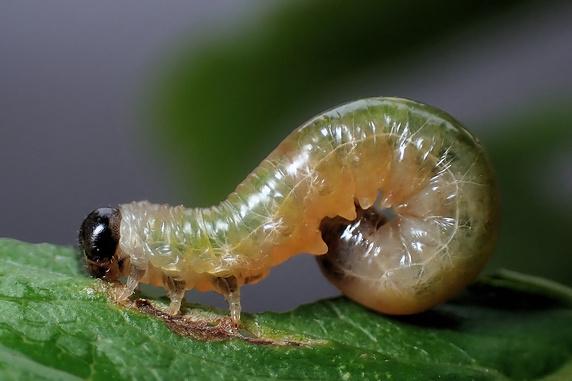 サクランボの葉を食べるハバチの幼虫