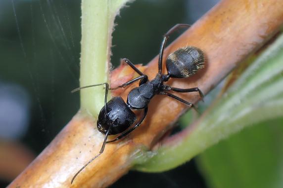 クロオオアリの大型働きアリ