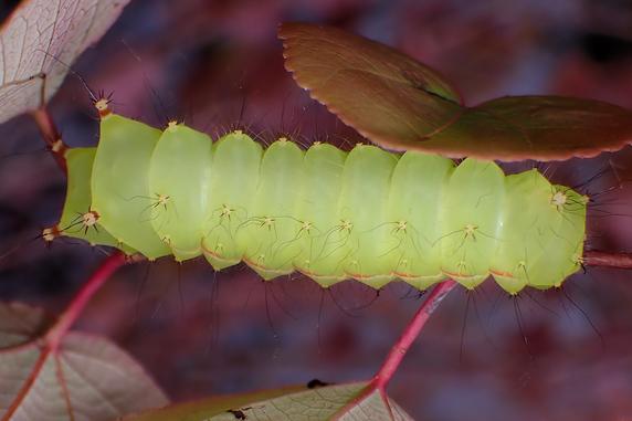 オオミズアオの幼虫