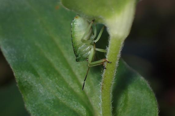 エゾアオカメムシの幼虫も羽化間近