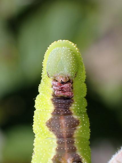 3匹のクロスキバホウジャクの幼虫