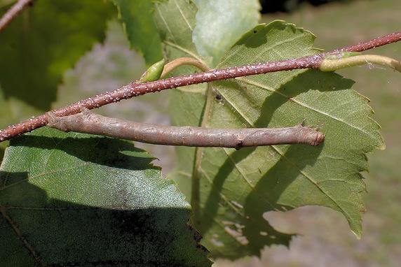 ヨモギエダシャクの幼虫か?