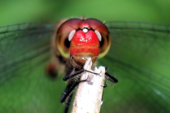 顔まで真っ赤なナツアカネ