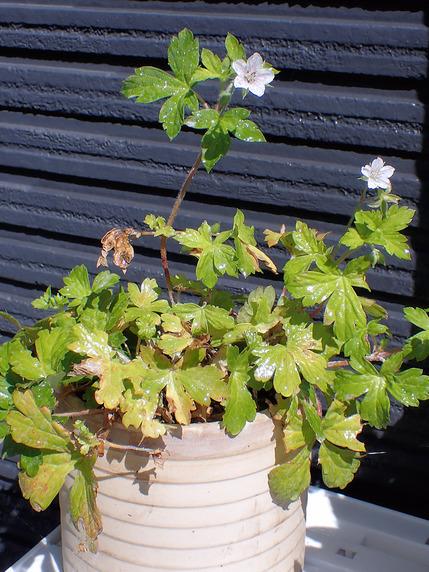 根付いたツユクサと開花したゲンノショウコ