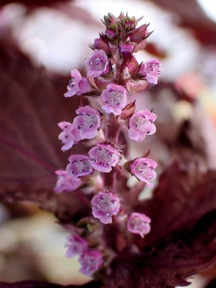 赤紫蘇も花の季節