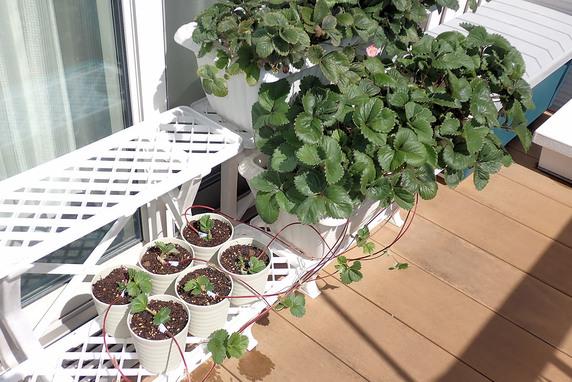 四季なりイチゴの孫株育苗開始