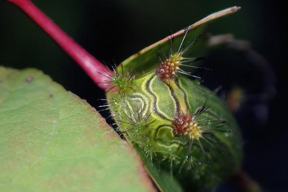 危険!ナシイラガの幼虫