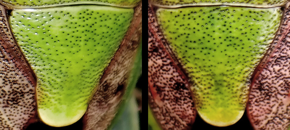 ライラックのチャバネアオカメムシを調べるの巻