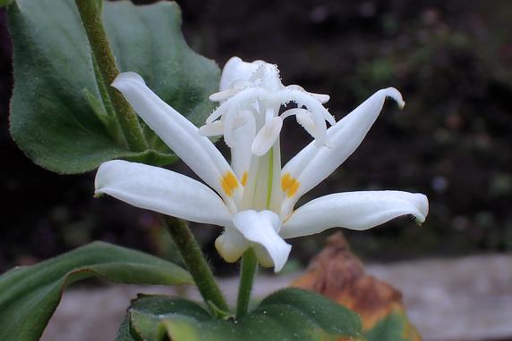 シロバナホトトギス開花