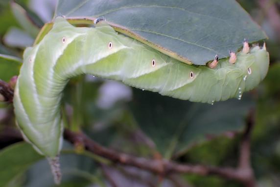 ヤドリバエに寄生されたシモフリスズメの幼虫