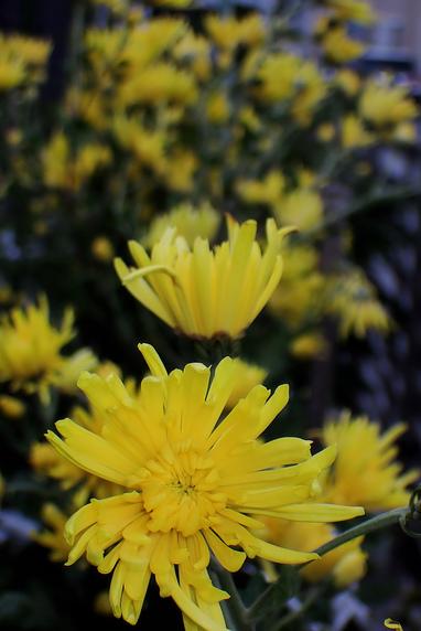 食用菊開花