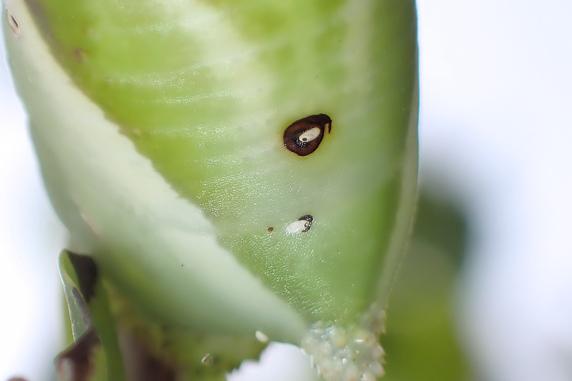 孵化したヤドリバエの幼虫が幼虫の体内に侵入