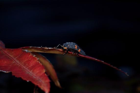 紅葉とナナホシテントウの幼虫