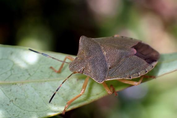 エゾアオカメムシ褐色型